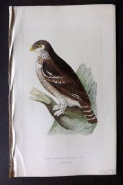 Bree 1866 Hand Col Bird Print. Least European Sparrow Owl